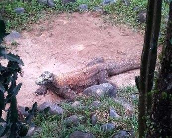 Komodo Bragon