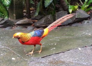 Golden or Chinese Pheasant