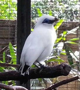 Bali White Starling